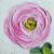 pink ranunculus  paintings